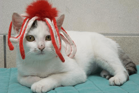 A white and grey cat with a octopus hat on